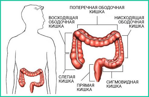 Толстый кишечник, или ободочная кишка, подразделяется на 6 частей