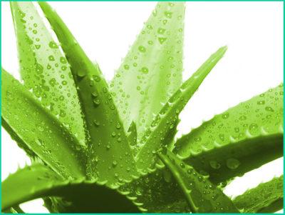 Алоэ — одно из популярных антисептических и заживляющих растений
