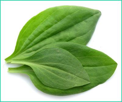 Для лечения заболеваний желудка используют настой листьев подорожника