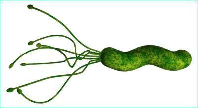 Бактерия Helicobacter pyllori