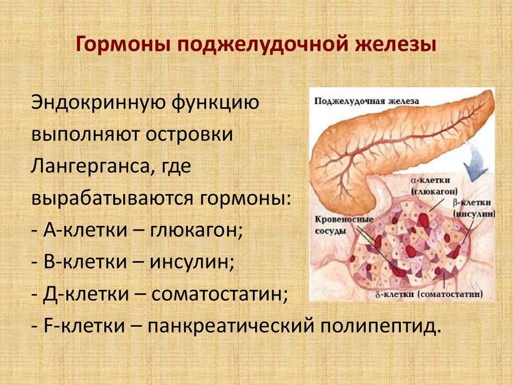 Как функционирует поджелудочная железа