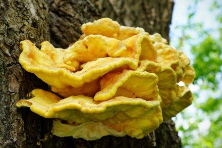 Польза грибов при гепатите и способы их употребления